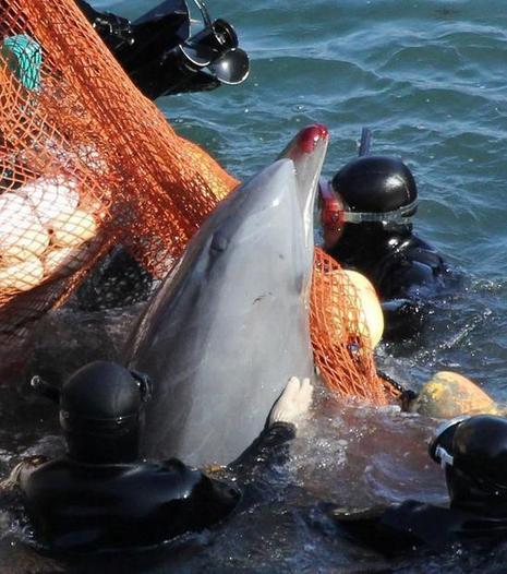 Annual quota set as dolphin drive season poised to begin in Taiji - DigitalJournal.com | Intrepid #Cove #Guardian @ManiNeptune | Scoop.it