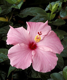 Tropical flowers for containers | Gardening Life | Scoop.it