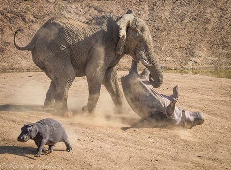 Elephant fury for this mother hippo | Africa Geographic Magazine Blog | Everything Photographic | Scoop.it