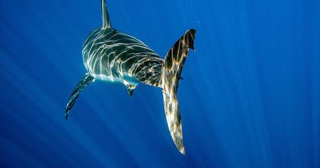Weiße Haie: Die letzten Haie am Kap | Amocean MeerWissen | Scoop.it
