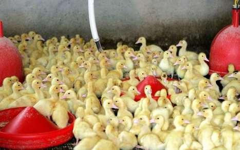 Les petits canards pourront revenir dans le Sud-Ouest à partir du 16 mai | Agriculture en Pyrénées-Atlantiques | Scoop.it