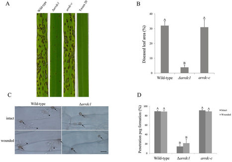 Autophagy-associated alpha-arrestin signaling is required for conidiogenous cell development in Magnaporthe oryzae | Rice Blast | Scoop.it