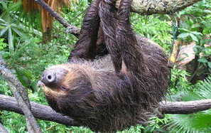 Putting the sloth in sloths: Arboreal lifestyle drives slow pace  | Rainforest EXPLORER:  News & Notes | Scoop.it