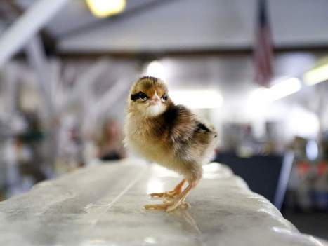 Urban chicken farmers passionate about their hobby - Ocala | Antibiotics and Livestock | Scoop.it