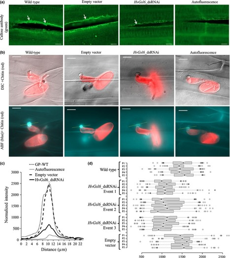 Down-regulation of the glucan synthase-like 6 gene (HvGsl6) in barley leads to decreased callose accumulation and increased cell wall penetration by Blumeria graminis f. sp. hordei | MycorWeb Plant-Microbe Interactions | Scoop.it