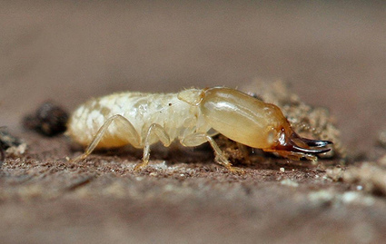 Des termites chercheurs d'or   EntomoNews   Scoop.it