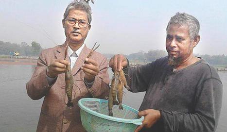 Freshwater shrimp farming sees success in Nilphamari | Aquaculture Directory | Aquaculture Directory | Scoop.it