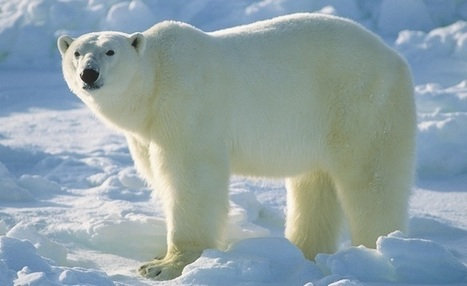 Are Polar Bears On Tract For Extinction Soon? - Pioneer News | GarryRogers Biosphere News | Scoop.it