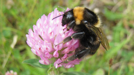 Short-haired bumblebee makes a UK comeback after 25 years   Food issues   Scoop.it