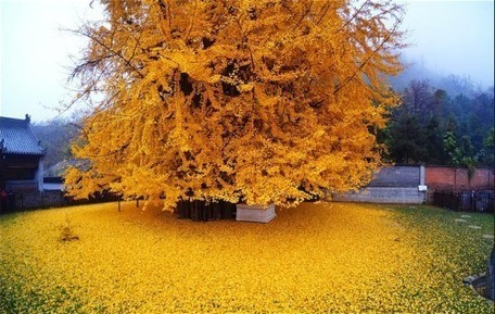 Stunning ginkgo tree in China drops an ocean of golden leaves | The Landscape Café | Scoop.it