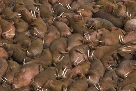Shrinking Sea Ice Forces Alaskan Walruses Ashore | GarryRogers NatCon News | Scoop.it