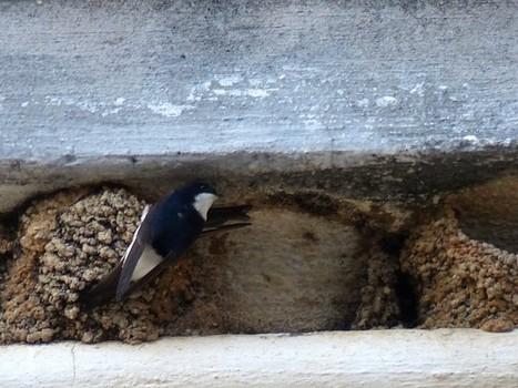 Photos d'oiseaux : Hirondelle de fenêtre - Delichon urbicum - Hirundo urbica - Common House Martin | Fauna Free Pics - Public Domain - Photos gratuites d'animaux | Scoop.it
