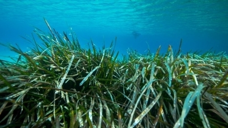 Seagrass a crucial weapon against coastal erosion | Soggy Science | Scoop.it