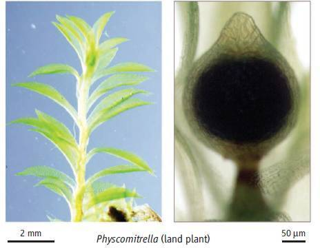 Science: KNOX2 genes and the switch from gametophyte to sporophyte   Biology of plant   Scoop.it