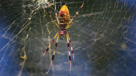 Spiders Tune In To Web's Music To Size Up Meals And Mates | Science Reading for ELA | Scoop.it