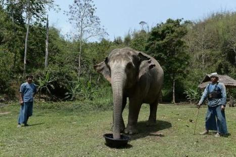 Thailand now brews coffee made from elephant poop ... | Coffee News | Scoop.it