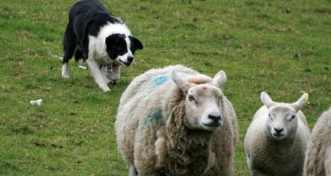 Et si les chiens de berger étaient remplacés par des robots ? | Evénements patrimoine | Scoop.it