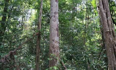 Tallest trees could die of thirst in rainforest droughts, study finds | Sustain Our Earth | Scoop.it