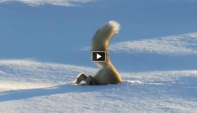 Fox hunting under snow in an incredible way (VIDEO) | Skolerelaterte artikler | Scoop.it