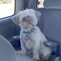 "HAPPY ENDING: Home, Safe and Sound: Lost Dog: North River, Colchester Co., NS — Shih tzu, Male, 11 — ""Tanner or Tan Tan"" 