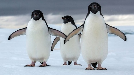 Antarctica Could Lose Most of Its Penguins to Climate Change | Amazing Science | Scoop.it