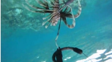 Hunting the invasive lionfish at Long Caye | Belize in Social Media | Scoop.it