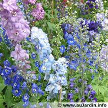 Pied d'alouette, Delphinium - au jardin d'agrément, semis en mars des annuelles | Côté Jardin | Scoop.it