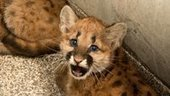Cougar cubs rescued in Ore. adopted by two zoos - kgw.com | Oregon Zoo Babies | Scoop.it