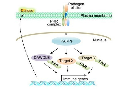 PARylation of the forkhead-associated domain protein DAWDLE regulates plant immunity - Feng - 2016 - EMBO reports - Wiley Online Library | Plant immunity | Scoop.it