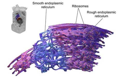Structural Details of Endoplasmic Reticulum Revealed | The Scientist Magazine® | Biology Education Resources | Scoop.it