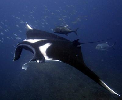 Phuket Lifestyle: Andaman manta rays take flight | Eco Friendly Vacations | Scoop.it