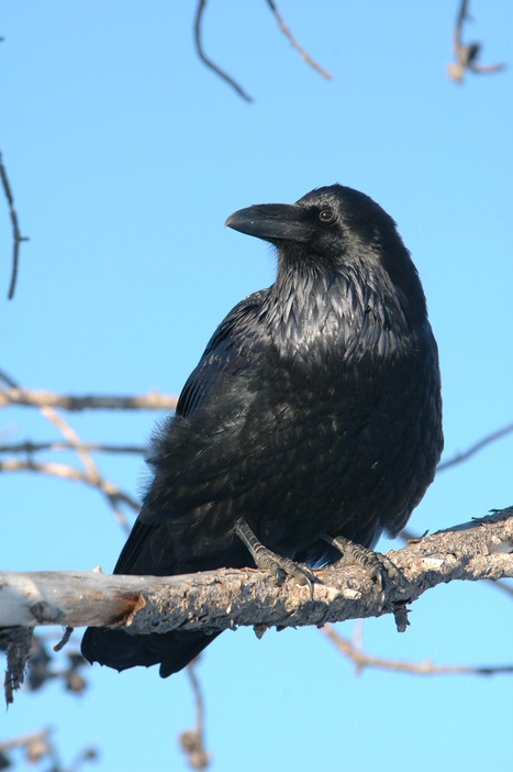 Petition to stop the slaughter of ravens in Idaho | GarryRogers Biosphere News | Scoop.it