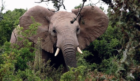 Endangered Elephants' Fate Rests With China's Crucial Decision | Our Evolving Earth | Scoop.it