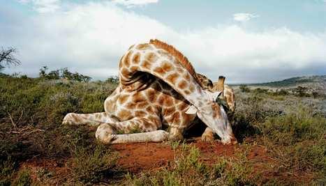 Les girafes, nouvelle cible des braconniers - National Geographic | Chronique d'un pays où il ne se passe rien... ou presque ! | Scoop.it
