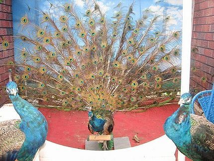 Chinese zoo tie mechanical tale on a peacock to cash in on tourists. | Quite Interesting News | Scoop.it