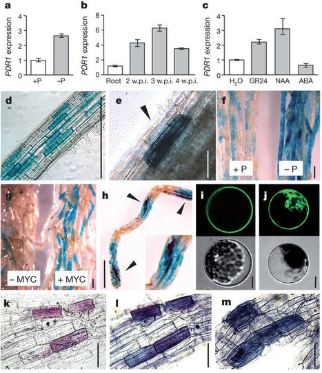 A petunia ABC protein controls strigolactone-dependent symbiotic signalling and branching   Parasitic Plants   Scoop.it