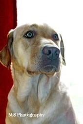 """LOST DOG: Heathbell Rd, Heathbell, Pictou Co., NS — Yellow Lab, Female, Adult — """"Naddie"""" 