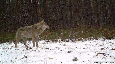 Cameras reveal the secret lives of Chernobyl's wildlife - BBC News | Jeff Morris | Scoop.it