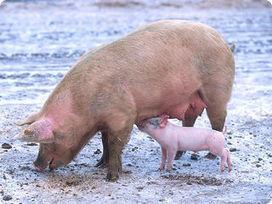 Pirbright mention: Surrey scientists working to prevent global outbreak of swine flu   BIOSCIENCE NEWS   Scoop.it