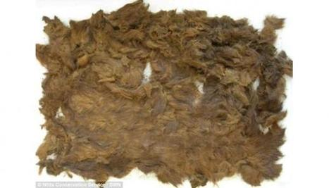 4,000-year-old pelt found in princess grave reveals bears roamed Dartmoor, England | Teaching history and archaeology to kids | Scoop.it