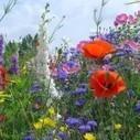 Les fleurs comestibles annuelles et vivaces. | Cuisinéo | Potager & Jardin | Scoop.it