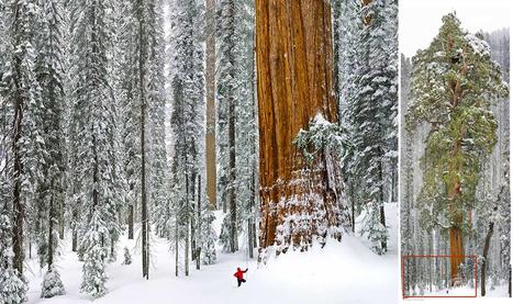 Para retratar este colosal árbol fue necesario unir 126 fotos   Educacion, ecologia y TIC   Scoop.it