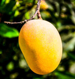 Health Benefits of Mango | Healthy Lifestyle Tips | Scoop.it