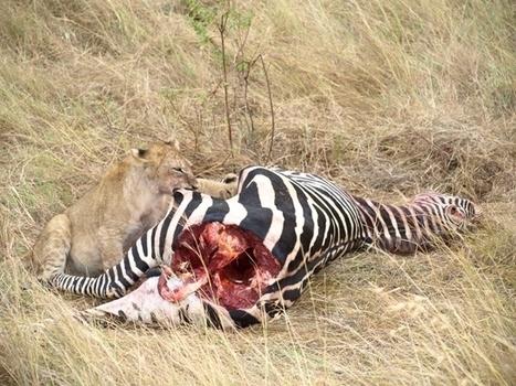 Cachorros de león comiendo una cebra - Udare | Safaris | Scoop.it