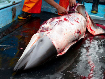 Dolphin slaughter in Peru | All about water, the oceans, environmental issues | Scoop.it