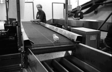 chickens | Nature Animals humankind | Scoop.it