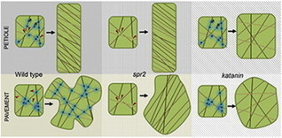 Current Biology - SPIRAL2 Determines Plant Microtubule Organization by Modulating Microtubule Severing | Fanny Salcedo | Scoop.it