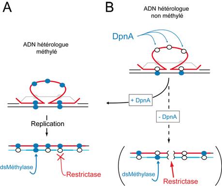 Sciences biologiques - LMGM - Une enzyme qui favorise l'acquisition de séquences génétiques étrangères chez le pneumocoque | Actualité des laboratoires du CNRS en Midi-Pyrénées | Scoop.it
