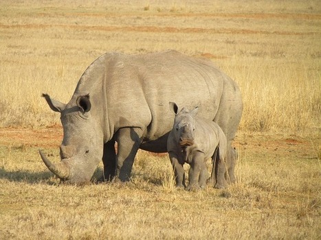 South African Rhino Poaches Approaching Deadly Record | Kruger & African Wildlife | Scoop.it