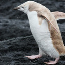 Rare White Penguin Spotted in Antarctica | A Sense of the Ridiculous | Scoop.it
